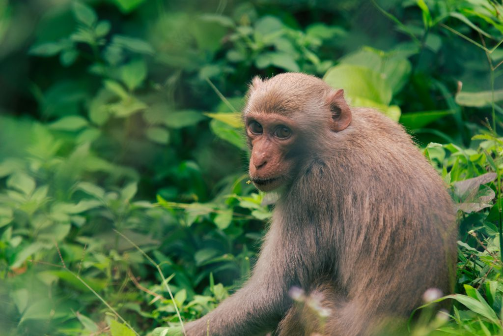 a close up photo of a monkey in nui doi semi wild enclosure